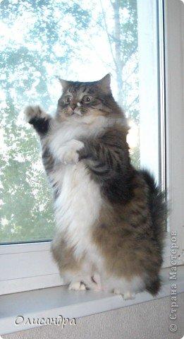 """Есть у меня питомец по имени Адам! Была еще и Ева, но """"унеслась к богам"""", Теперь любимый котик живет у нас один, Хозяин в нашем доме ! Нет, даже, господин!!! Он спит, лишь,там, где хочет,ест, правда, что дадут, Хочу его представить...Портфолио ,вот, тут... фото 19"""