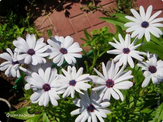 Фоторепортаж Цветы в саду фото 61